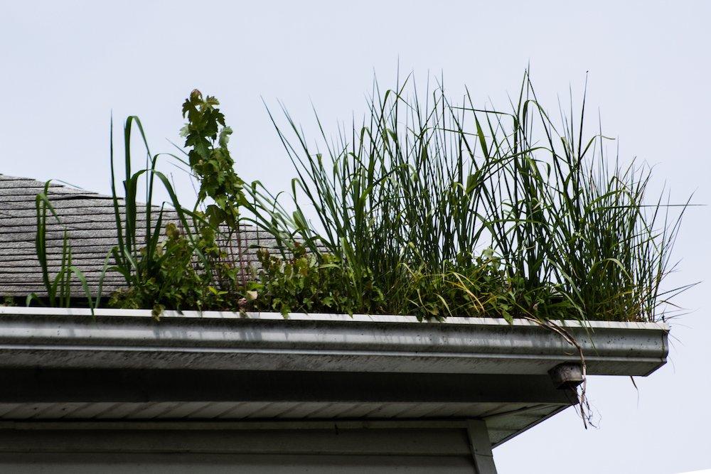Mit Gras bewachsene Dachrinne
